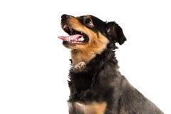 One dachshund mini Stock Photography