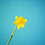 One daffodil Stock Photography
