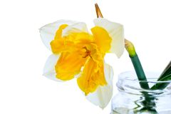 One daffodil in a glass jar Royalty Free Stock Image
