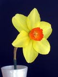 One daffodil in a vase. A simple daffodil, yellow, with an orange corolla, in a white vase Stock Image
