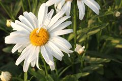 One daisies on grass Stock Photos
