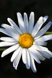 One Daisy Stock Images