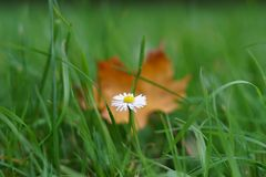 One daisy on the background of an autumn yellow leaf. Grows in the grass. the background is blurred Royalty Free Stock Images