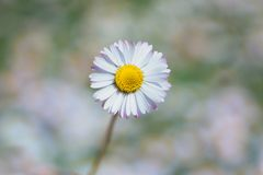 One daisy bellis perennis in the middle of garden background. One daisy bellis perennis in the middle of blurry garden background royalty free stock photo
