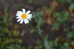 One Daisy. The concept of loneliness, uniqueness stock photography