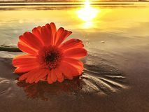 One Daisy Flower On The Beach At Sunset Royalty Free Stock Images