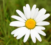 One Daisy on Green Grass Royalty Free Stock Image