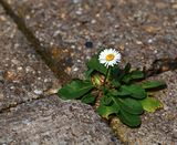 One daisy on pavement Royalty Free Stock Image