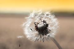 One dandelion clock with seed, sepia toned. One dandelion clock with seedlings, sepia toned, at sunset Stock Photo