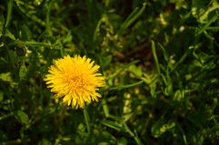 One dandelion close-up in grass royalty free stock image