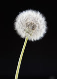 One dandelion flower on black color background, closeup object Stock Images