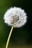 One dandelion flower isolated. Seed bud intact stock photo