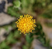 One dandelion flower Royalty Free Stock Images