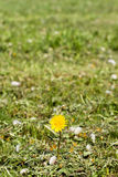 One dandelion in the green grass Stock Images