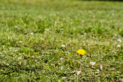 One dandelion in the green grass Stock Photo