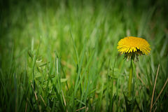 One dandelion in green patch of grass Royalty Free Stock Images