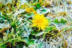 One dandelion with ice Stock Photos