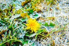 One dandelion with ice Royalty Free Stock Photo