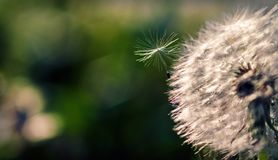 One dandelion seed lit by the bright sun in the air near the flower`s head. stock photos