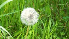 One dandelion seeds blown in the wind. Green grass in spring park. Dandelion seeds blown in the wind. Green grass in spring park stock video