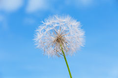 One dandelion on sky background. White dandelion on the blue sky background royalty free stock images