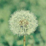 One dandelion Stock Photo