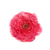 One dark pink magenta Ranunculus flower isolated on white Royalty Free Stock Image
