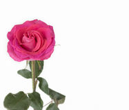 One dark pink rose on the left side. On the left side of this image is one vertical dark pink rose on stem with green leaves. the rose is garden and almost in Royalty Free Stock Images
