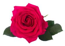 One dark pink roses Royalty Free Stock Photography