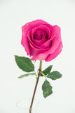 One dark tea pink rose in the clear vase. One full-blown pink color tea rose  on a green stalk, on white background, vertical image Royalty Free Stock Image