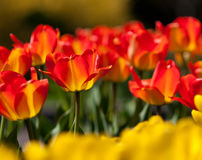 One Darwin Hybrid Tulip in Focus amongst others Royalty Free Stock Photo