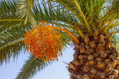 One date palm Stock Images