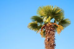 One date palm against the bright blue sky Stock Image