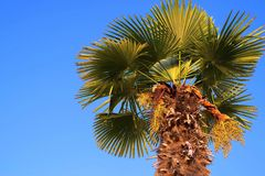 One date palm against the bright blue sky Royalty Free Stock Images