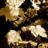 One day. Maple of autumn. I feel nostalgia Royalty Free Stock Images
