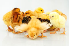 One day chicken Royalty Free Stock Photos