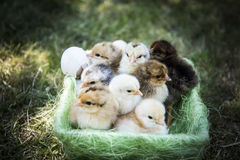 One day chickens in a basket stock photos