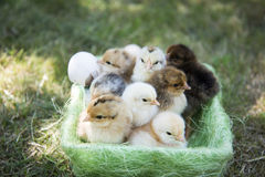 One day chickens in a basket royalty free stock photography