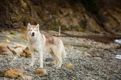 Image of beautiful Beige and white Siberian Husky dog standing on the pebble beach. One day with gorgeous husky dog on the shore of the sea in summer. Image of stock photo
