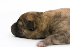 One day for newborn pup Royalty Free Stock Image
