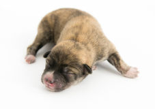 One day for newborn pup Stock Images