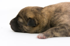 One day for newborn pup Stock Image