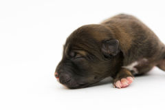 One day for newborn pup Royalty Free Stock Photos