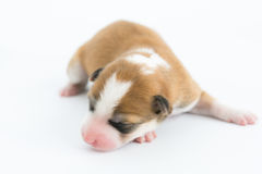 One day for newborn pup Royalty Free Stock Photo