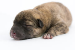 One day for newborn pup Royalty Free Stock Images