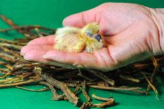 Closeup of a baby pigeon. One day old baby racing pigeons fit in one hand stock photos