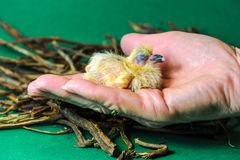 Closeup of a baby pigeon. One day old baby racing pigeons fit in one hand stock photo