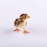 One day old brown quail on white board Stock Images