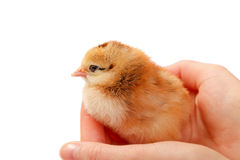 One-day old chick Royalty Free Stock Photos