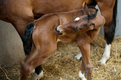 One day old foal Stock Photography
